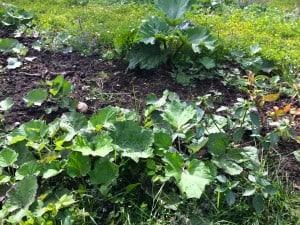 I delar av rabarberfältet har ogräsrensningen blivit eftersatt. Och då får man koncentrera sig lite för att se vilka blad som tillhör mina dyrbara rabarber och vilka som är utrotningshotad tussilago. Det är jag som hotar med lokal utrotning.