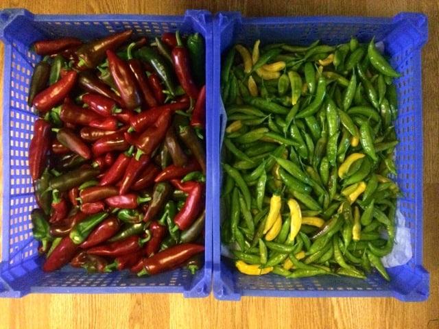Skulle jag odla chili med bara två sorter skulle det bli de här: Espelette och Hot Lemon. Den senare har inte hunnit färga ut lika bra men kommer nu när mantagit in den.