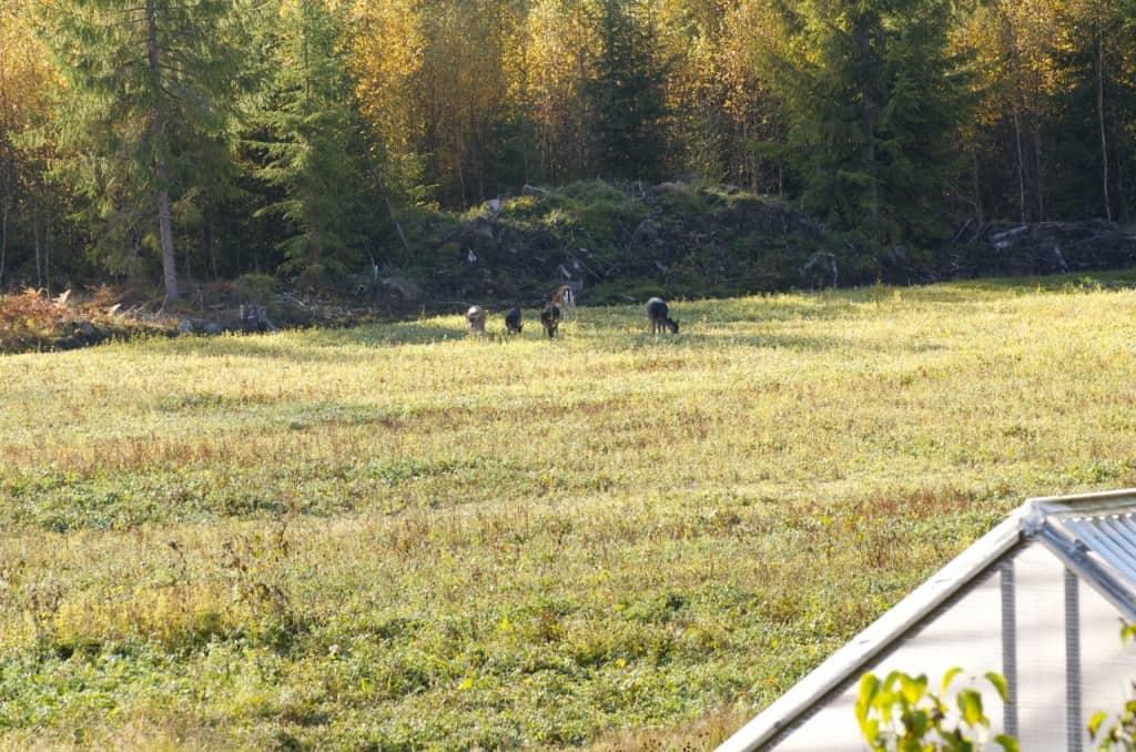 En mindre grupp bestående av två hindra och tre kalvar på besök. Den prickiga varianten är en framavlad färg från dovviltets förflutna i hägn. Men om man kommer riktigt nära kan man se att även de svarta har prickar även om de är mycket svåra att se.