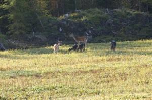 Lättaste sättet att känna igen en dovhjort är svansen. De är de enda svenska hjortdjuren som har en tydlig sådan. 15–20 cm lång, vit med ett svart streck.