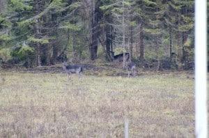 När hjorten vandrat ut i skogen dök en grupp hindra upp. Dovhjortar är hemortstrogna så dem stam som brukar besöka mina ägor kommer sannolikt tillbaka. Det finns några olika grupper och en av dem består av nästan helt svarta hjortar,