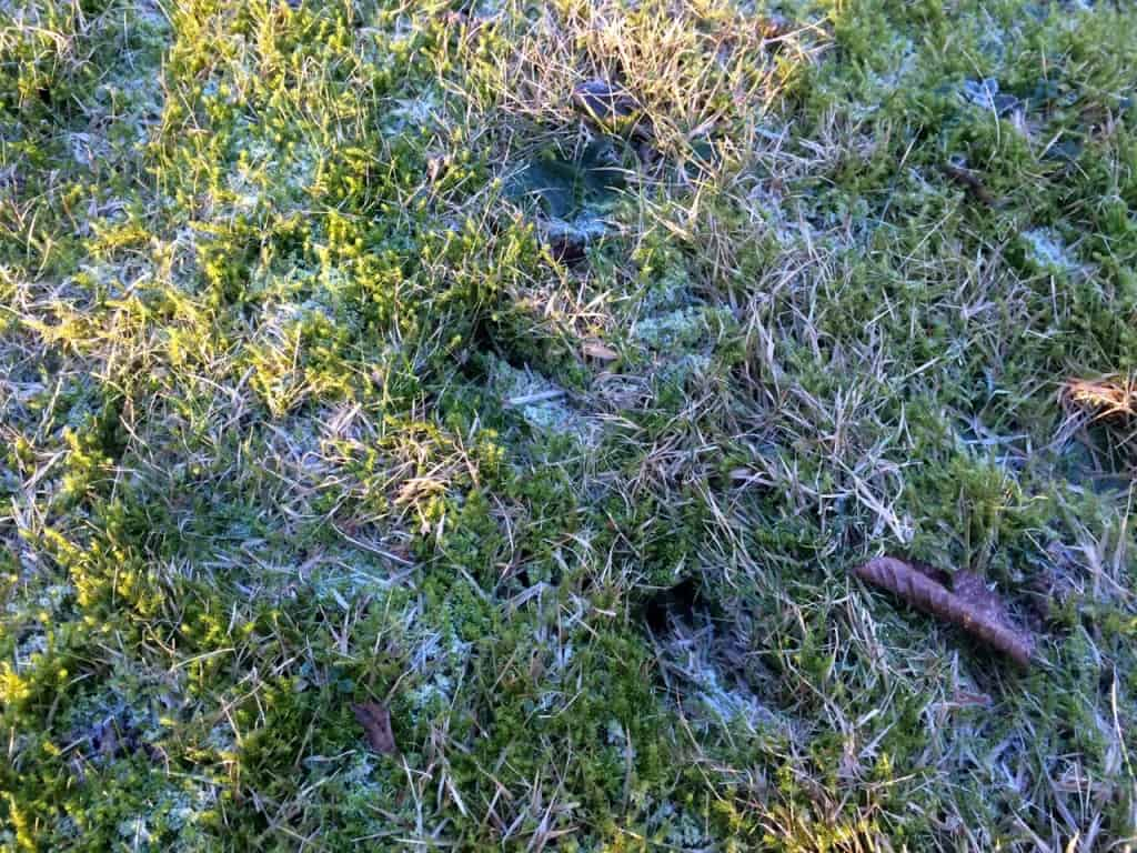 Spår av potentiella skadedjur i gräset. Men man får ha ögonen med sig om man ska upptäcka dem när det inte är släpljus av en lågt stående sol.