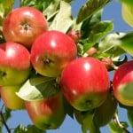 Katja är vanligt förekommande i kommersiella äppelodlingar.