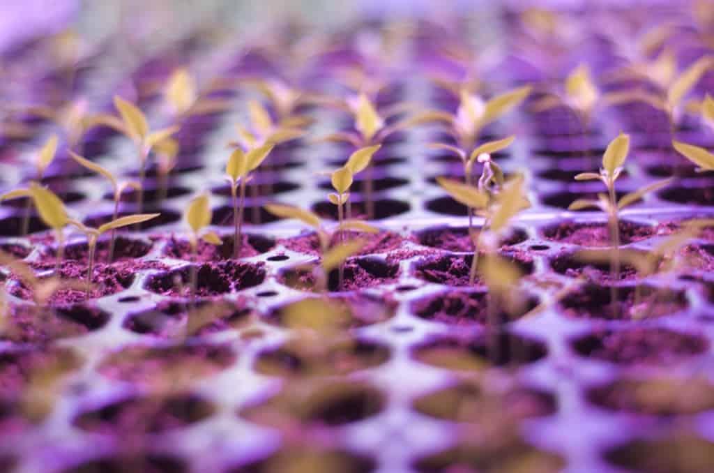 Rad efter rad med habanero och jalapeno är på god väg. Om ett par veckor är det dags för första omplanteringen.