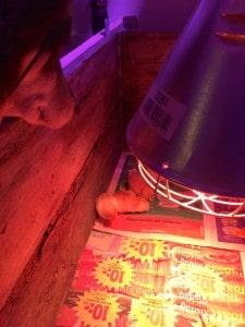 Pumah visar som vanligt stort intresse för kycklingarna. Vid sju års ålder har hon ännu inte skadat någon levande varelse, bortsett från emotionella skador på grodor, katter och grannar. Men att hon slickar sig om munnen och dreglar op kycklingarna ser jag som ett potentiellt dåligt tecken.