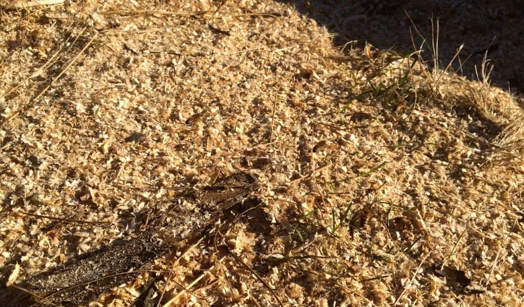 Hur många bin kan du se? De första bina som börjar jobba i år tar den näring de kan hitta. Men de är inte lätta att se bland sågspånet.