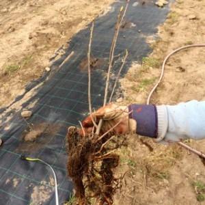 Tyckte aroniaplantorna från Hortogreen såg bra ut. Bortsett från att de börjat spricka ut. Men det får man ta när våren är så långt kommen. De längsta rötterna klippte jag av med sekatör. meningslöst att trycka ner rotnystan i marken.