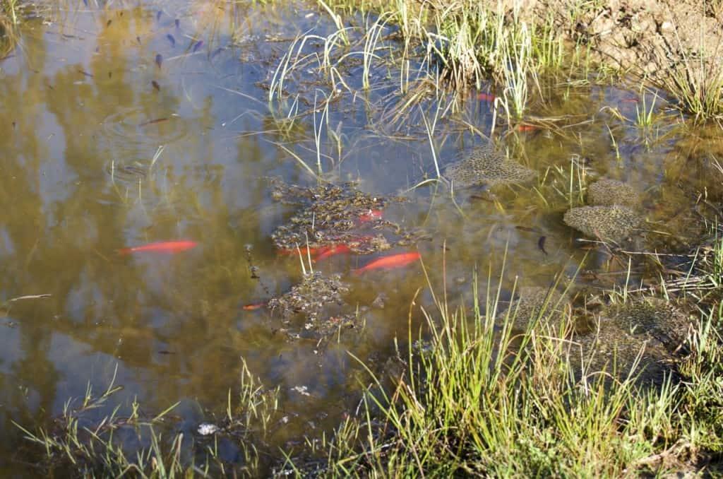 I den grunda viken på dammens sydsida flockas guldfisk av alla storlekar.