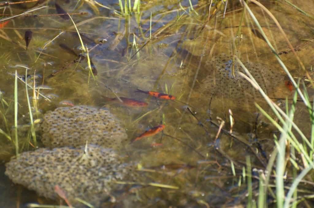 Grodrom och skäckiga guldfiskar. Det är roligt att se vilka arvsanlag som faktiskt finns bland de tio helt röda fiskar som jag tog hit.