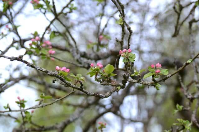 På mitt mysterieäppleträd har precis blommorna börjar slå ut.