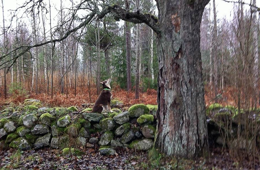 Ve den ekorre som tar sig in på gården – men de brukar helt obekymrat sitta kvar i trädet och reta Pumah.