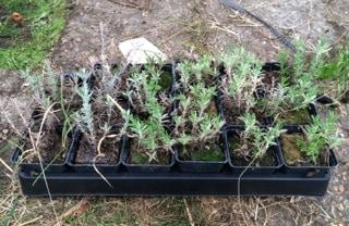 Förra årets frösådda lavendelplantor. De som aldrig kom i jorden. Trots att de stått ovattnade och övergivna i växthuset hela vintern har många överlevt.
