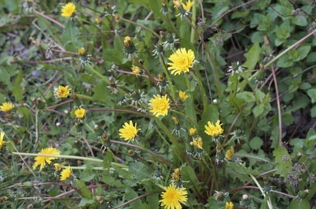 Maskrosornas blommar bra nu, till glädje för bina.