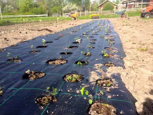 Nu är de första 400 oreganoplugarna utplanterade. Inga spikraka rader, men de klagar inte.
