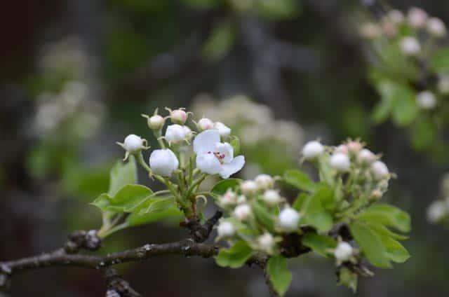 De första blommorna på mitt gamla päronträd har också öppnat sig. Gissar att det kommer att surra vilt om trädet om några dagar.
