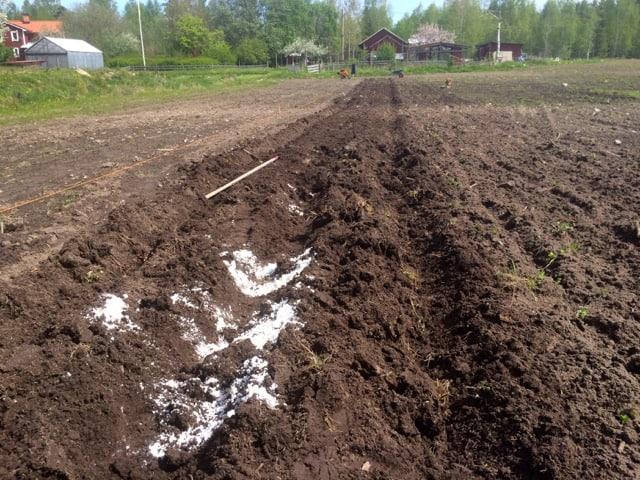 Första steget är att dra upp tre fåror med potatiskuparen. I mittfåran lgger jag gödsel eller kalk, beroende på vad växterna vill ha. Sen krattas den igen.