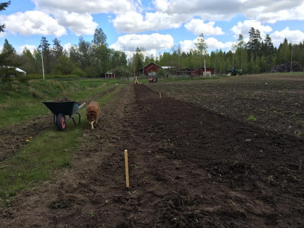 Nu när drygt femton olia örter är sådda börjar jag få en rutin: Först plocka sten och rötter, sen fräsa. Plocka sten och rötter och sedan märka upp raden. Därefter avlutar jag med ett mäta plantavstånd och så. Sen är det dags för nästa rad.