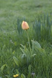 Eftersom jag har glest med rådjur får tulpanerna vara i fred. Har ett tjugotal som dyker upp lite här och var i trädgården.
