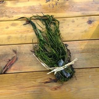 Nitella är egentligen en alg men för en lekman går den knappt att skilja från de högre växterna. Den är utan tvekan förstahandsvalet om man ska odla kräftor.