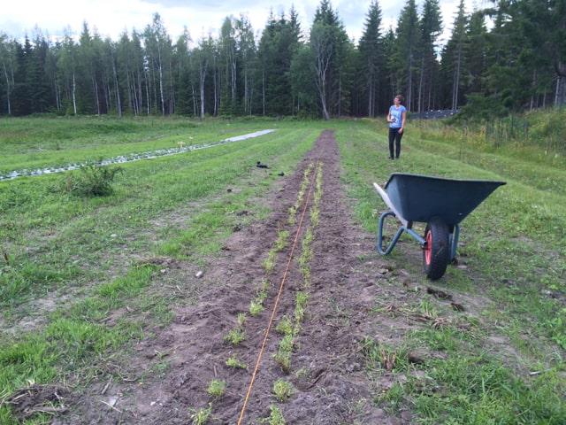 Istället för gårdens vanliga blandning av tistlar, kvickrot, skräppa och hampdån växer het nu i alla fall 20 meter med timjan.