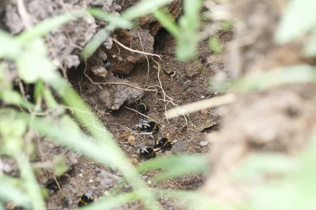 Om jag artbestämt denna humla rätt så är den av arten Ljus jordhumla (Bombus locurum) en av våra vanligaste arter. Ingången var i ett gammalt musbo och själva boet ligger ungefär tre decimeter ner i marken.