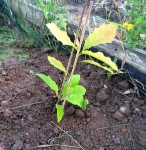 När den här eken planterades ut från växthuset var den ett par decimeter hög. Tre år senare är den dubbelt så lång.