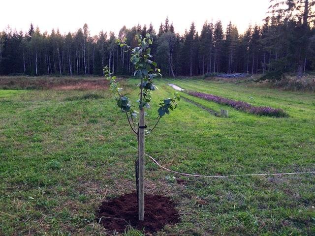 Första fruktträdet i min blivande fruktskog: Ett päronträd av sorten Reine Claude.