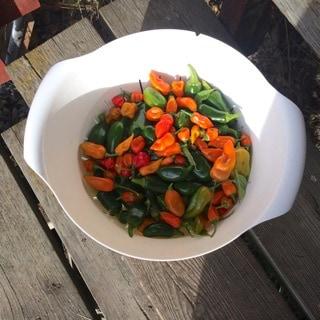 Sista skörden av chili i år gav ett knappt kilo. En bråkdel av förra årets lyckade odling.