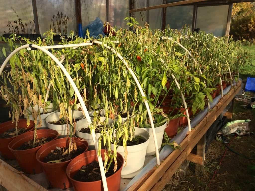 Höst i växthuset. Frostnätterna kommer tätare nu och det är snart dags att skicka årets plantor på komposten. Lite sorgligt att säsongen är över men det är dags att städa växthuset och se fram mot nya tag odlingsåret 2016.