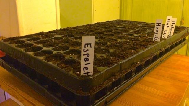 Här är årets första chilisådd. 104 plantor bestående av Espelette (min favorit), Bulgarian Carrot (experiment), Hot Lemon och den vanliga Habaneron. När jag väljer sorter så väljer jag oftast sådana som odlas kommersiellt någon stans i världen. Det finns ofta bra skäl till att de är populära.