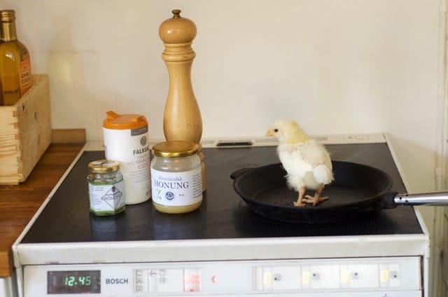 Det lär dröja innan det här lilla gullefjunet fått tillräckligt med kött på benen för att kunna kvalificera sig till helstekt kyckling. Men visar det sig vara en tupp är risken stor att han hamnar i stekpannan en andra gång.