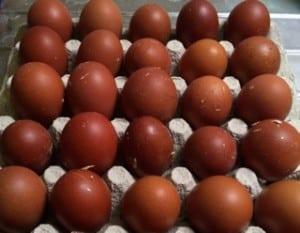 Om man låter äggen vila ett dygn innan man lägger dem i kläckaren så får äggsnoddarna en chans att räta till sig.
