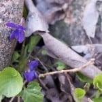 En blyg viol tittar upp bredvid stenarna framför huset.