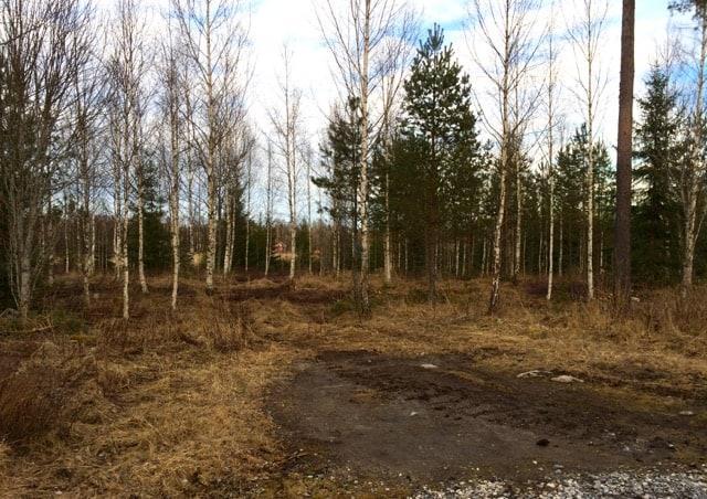 Det har ljusnat på gårdens norra sida. Efter röjning och gallring verkar det bli en riktigt vacker björkskog.