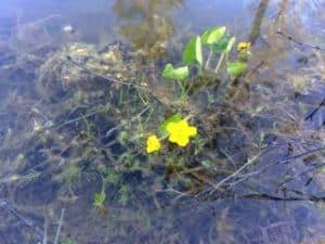 Kabbelekan blommar redan i maj.