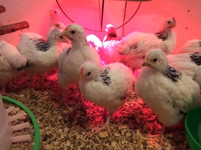 Nu har kycklingarna börjat lägga på hullet rejält och det är nästan svårt att tro att de för några veckor sedan fick plats i ett ägg.