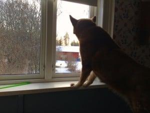 Pumah håller koll på vad som händer runt gården. Katter, sogsmaskiner och bilar passerar inte obemärkt. Men utomhus har hon stor respekt för de flesta motorredskap.