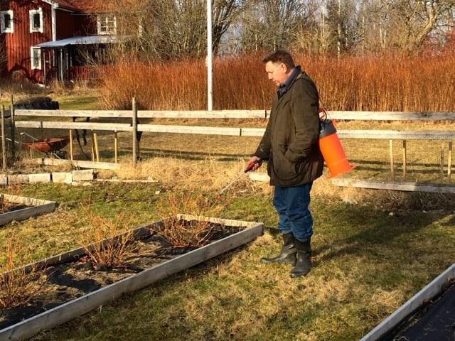 Besprutat tycker jag är en väldigt dumt uttryck. Det är inte sprutan som är skadlig för miljö och hälsa utan vad du häller i den. Här besprutar jag mina blåbärsbuskar med Trico Garden.