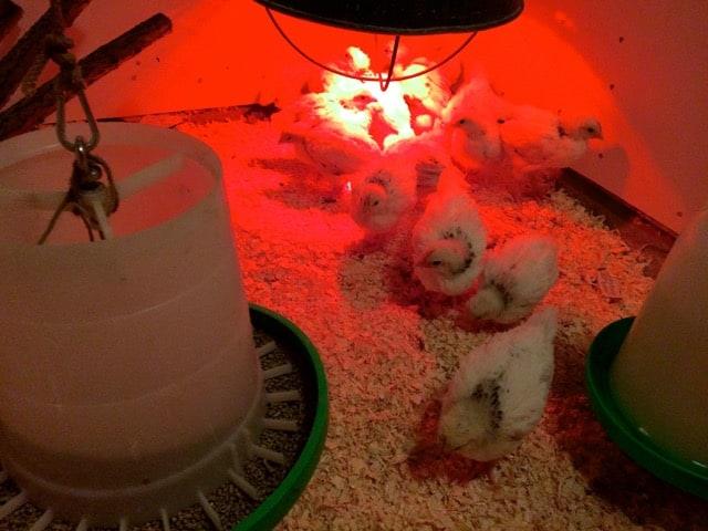 Tre veckor efter kläckningenhar kycklingarna ersatt det mesta av dunet med fjädrar. När de flaxar ser man att de redan har ett rejält vingspann och de börjar visa sin kommande fjäderdräkt.