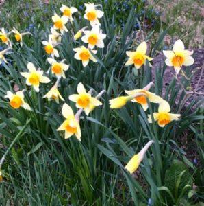 Narcisserna blommar vid trekammarbrunnen.