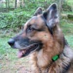 Dixie var våldsmat aggressiv mot andra hundar – men en dröm på många andra sätt. Fortfarande saknad.