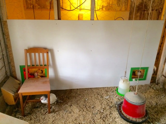 En av de unga har vågat sig ut på stolen. Den här väggen är ett första steg i ombyggnaden av hönshuset. Istället för att måla har jag använt lackboard - i princip färdigmålad masonit. Lite dyrare men väldigt praktiskt, särskilt till hönshus.