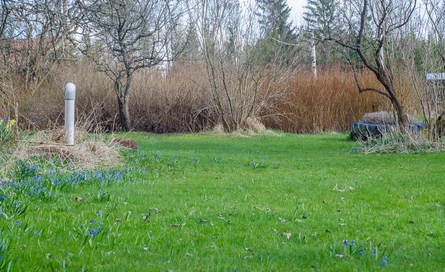 Gräset är redan på gång att byta färg från vintergult till smaragdgrönt. Och när scillan vissnat tar jag fram gräsklipparen.