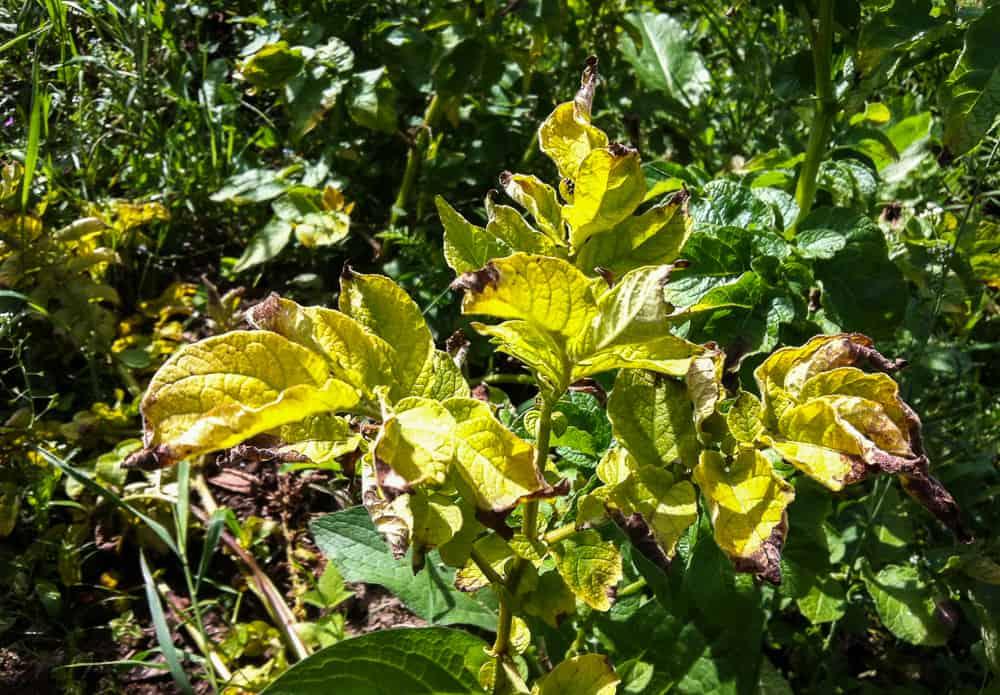 Blasten slås av ett par veckor före skörd – men råkar du ut för bladmögel som på bilden måste den angripna blasten bort från fältet så fort som möjligt.