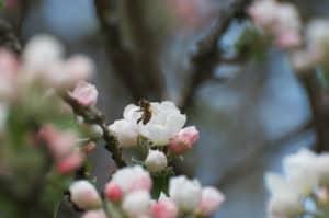 Äppelblommorna är till hälften utslagna och bina har börjat hitta dit.