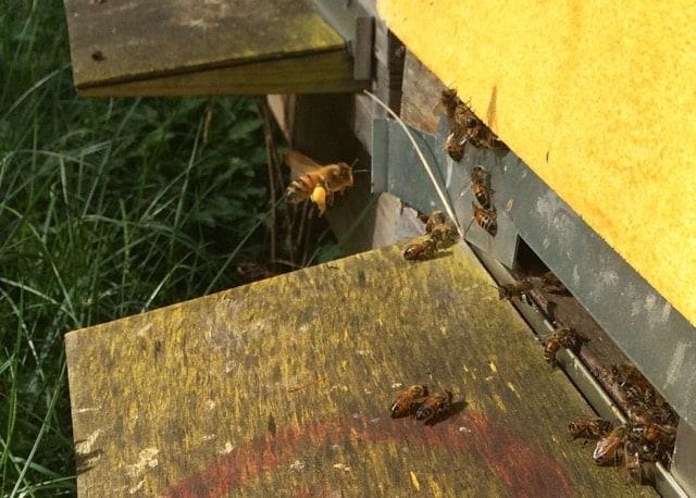 Ett bi kommer lastat med pollen. Pollen är binas främsta proteinkälla och det behövs stora mängder för att föda upp alla yngel.