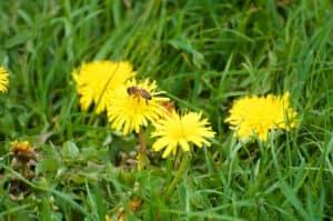 Maskrosorna är en viktig källa för både pollen och nektar – därför känns det rätt ok att ha dem kvar i gräsmattan.