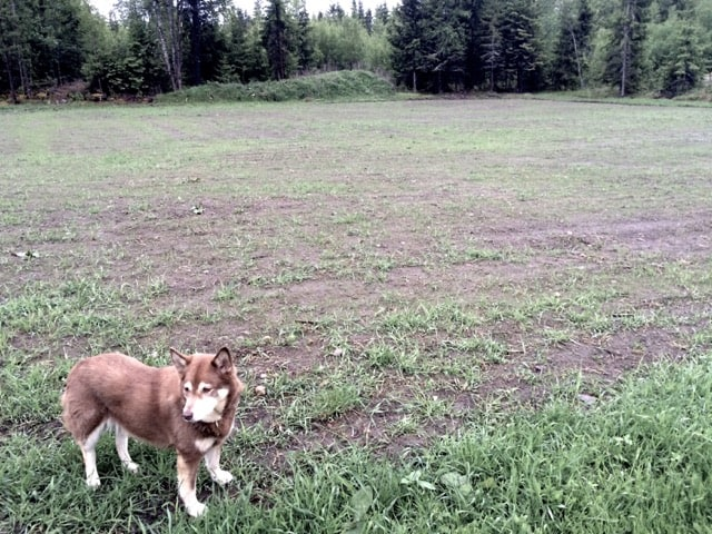 Mycket kvickrot – men där emellan kommer mitt nysådda gräs och klöver.