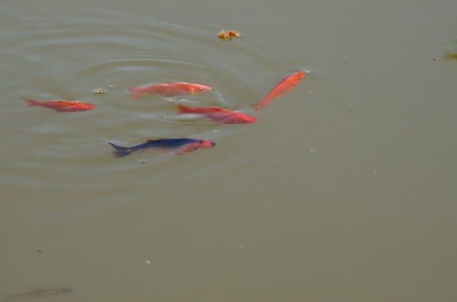 Jag upphör aldrig att förundras av den genetiska variationen. Tio röda guldfiskar har på ett par år resulterat i en hel färgskala med olika kombinationer.