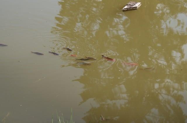 Det är rogivande att sitta och titta på fiskarna som underhåller sig själva i dammen.